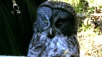 CTV Northern Ontario: Endangered owls