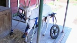 Farm takes in and helps disabled animals