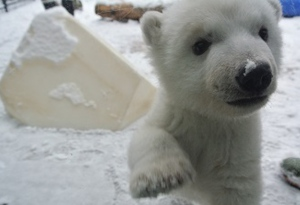The Toronto Zoo's three-month-old polar bear cub is introduced to snow for the first time. (Toronto Zoo)