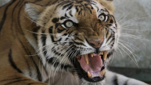 Seema, a Royal Bengal tigress, reacts to the camera at the zoo in Ahmadabad, India on Monday, March 28, 2011. (AP / Ajit Solanki)