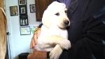 CTV Toronto: Windsor police donate puppy to boy