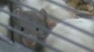 CTV Barrie: Rat rescue update