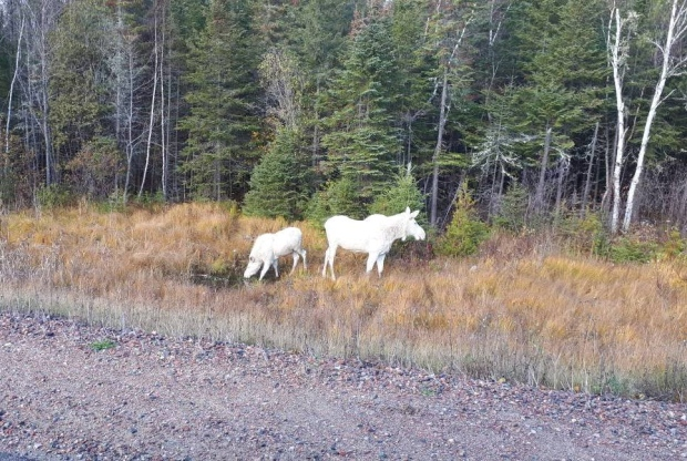 Two white 'spirit moose' seen in northern Ontario