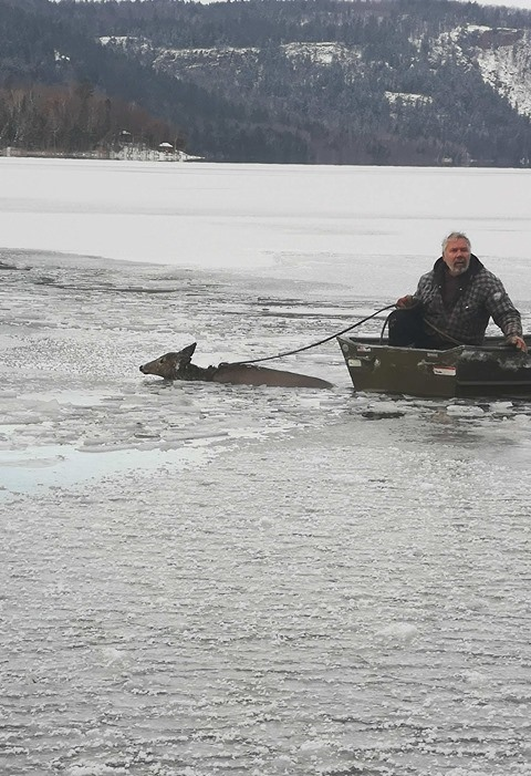 Doe is towed back to shore on Echo Lake