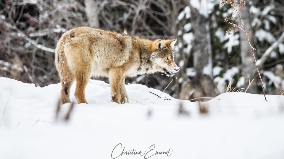 Wolf eating snow in northern Ontario