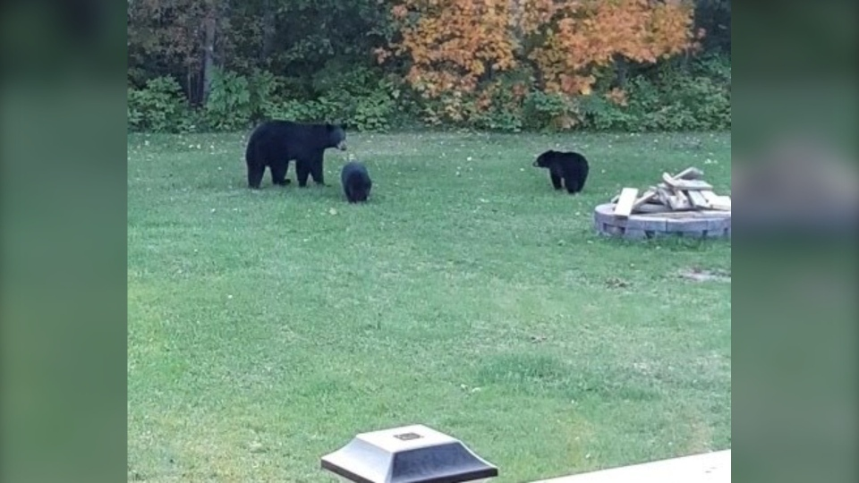 Mama bear and her two cubs in northern backyard