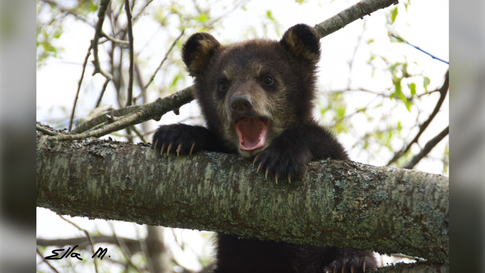 Abandoned bear cub calls for its mama in Timmins