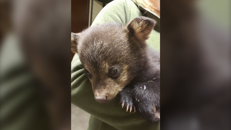 Dwight the bear was found on Dwyer Street in Timmi