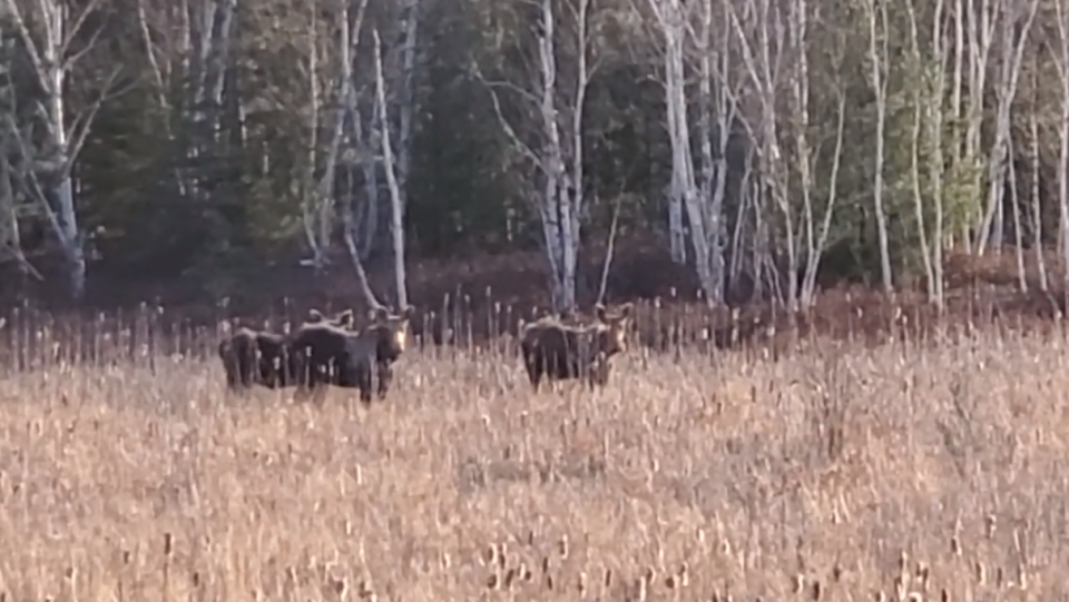 Three moose standing in a swampy area