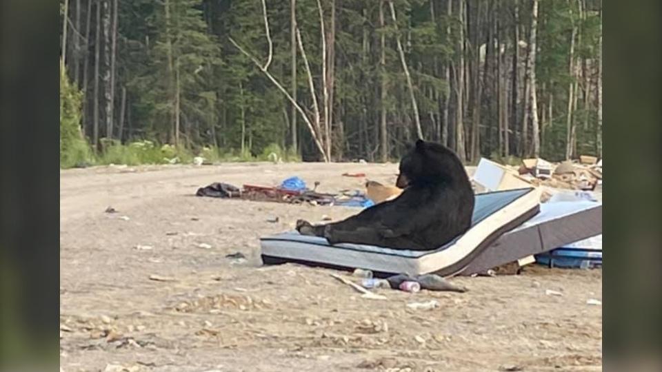 Bear necesita una siesta después de comer en el buffet de basura